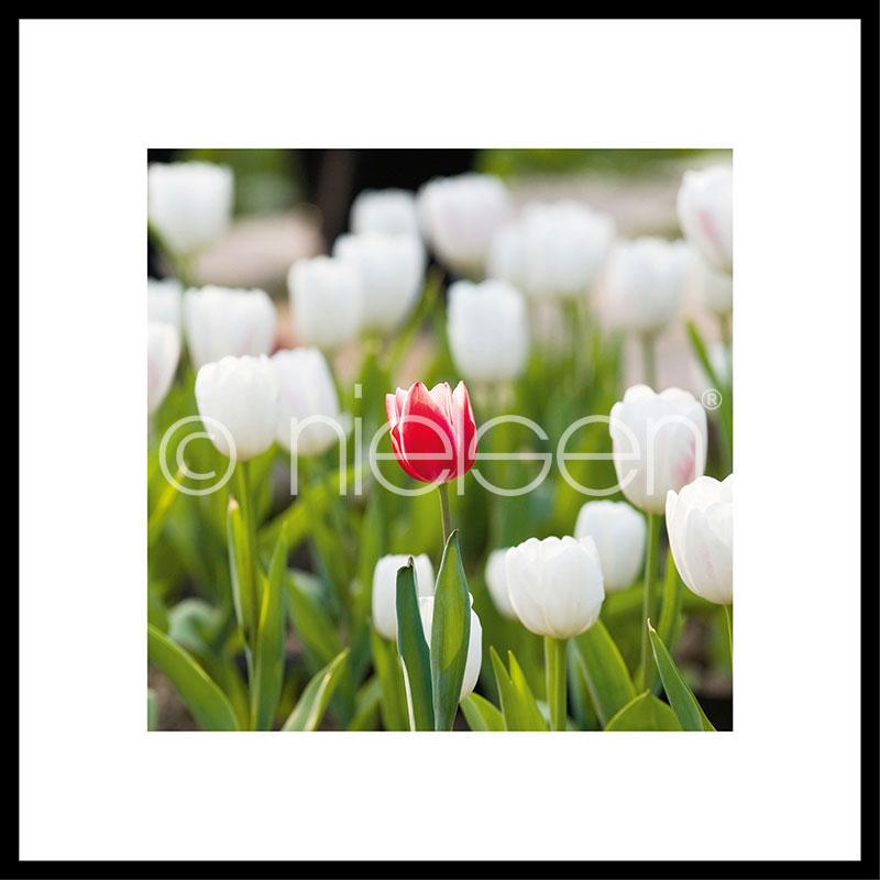 """Indrammet billede """"Tulips"""" med aluramme C2"""