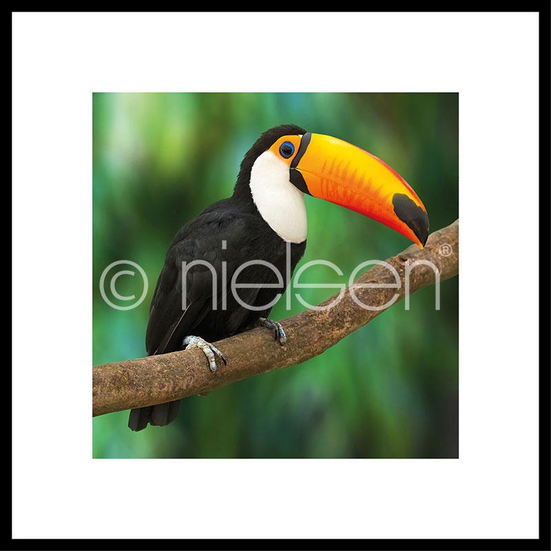 """Indrammet billede """"Toucan"""" med aluramme C2"""