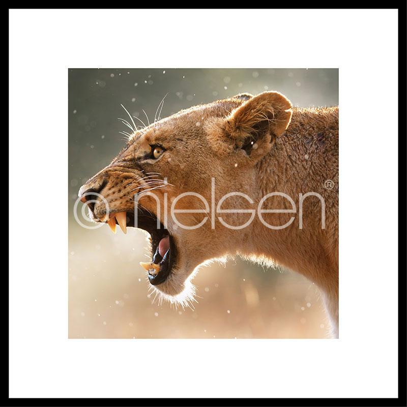 """Indrammet billede """"Lioness"""" med aluramme C2"""