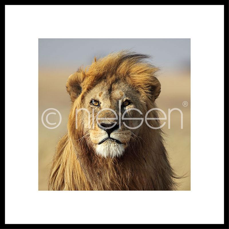 """Indrammet billede """"Lion"""" med aluramme C2"""