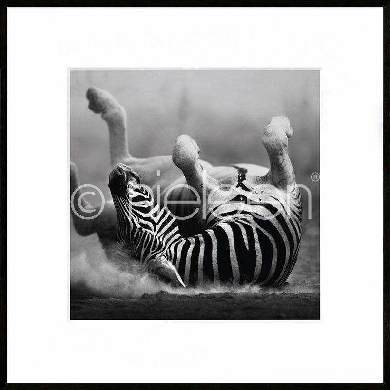 """Indrammet billede """"Zebra lying"""" med aluramme C2"""