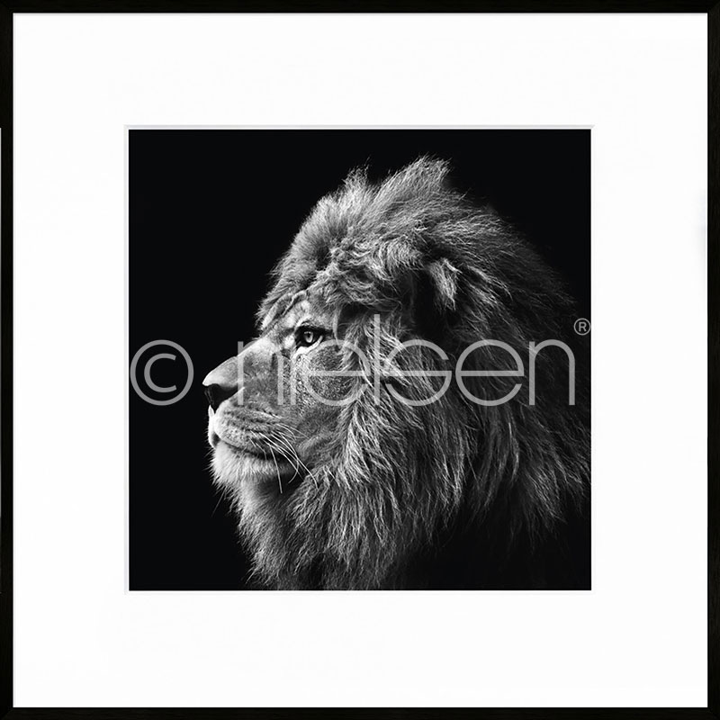 "Indrammet billede ""Lion black and white"" med aluramme C2"