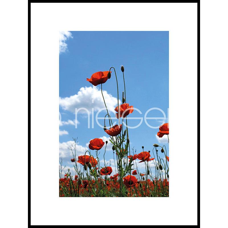 """Indrammet billede """"Field of Poppy Flowers"""" med aluramme C2"""