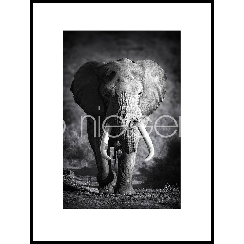 "Indrammet billede ""Elephant black and white"" med aluramme C2"