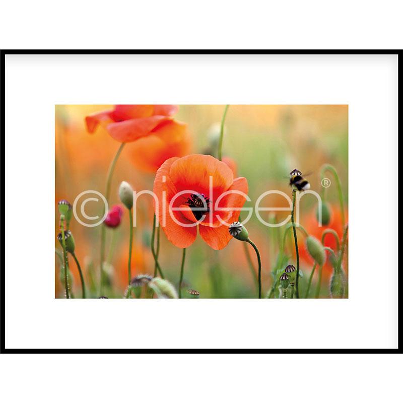 "Indrammet billede ""Poppy Flower"" med aluramme C2"