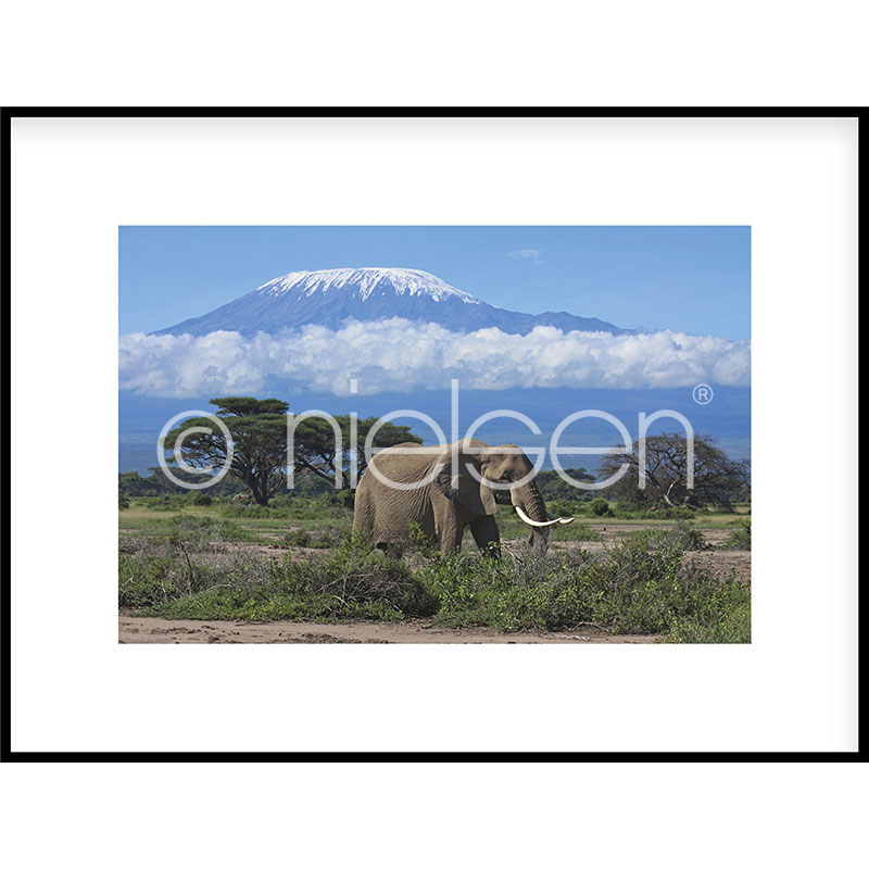 "Indrammet billede ""Elephant Prairie"" med aluramme C2"